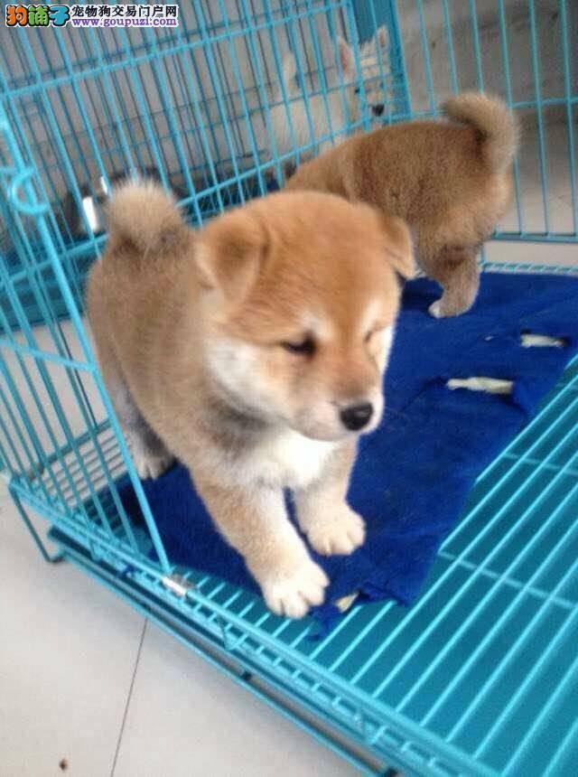 云南什么地方卖狗、昆明哪里买狗、柴犬价格