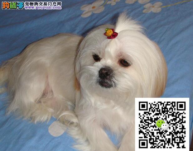 西施犬幼犬出售 公母都有 签协议质保一年