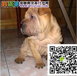 精品沙皮犬出售 公母都有 签协议质保一年