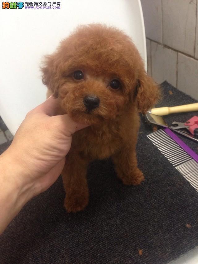 大型犬舍热销韩系泰迪犬 品种齐全颜色多样毛色佳