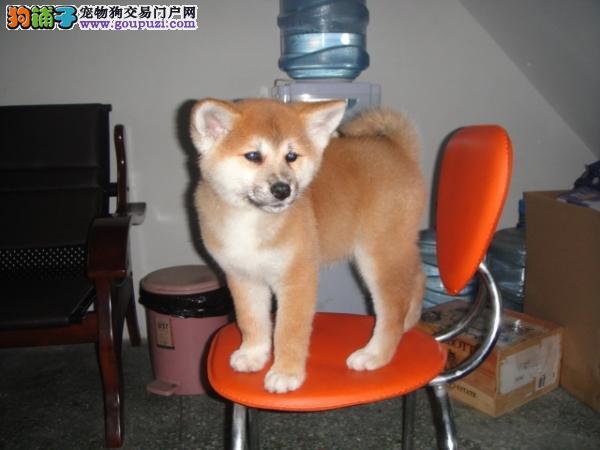 南宁哪里有卖秋田犬三个月秋田犬多少钱一只秋田犬价格
