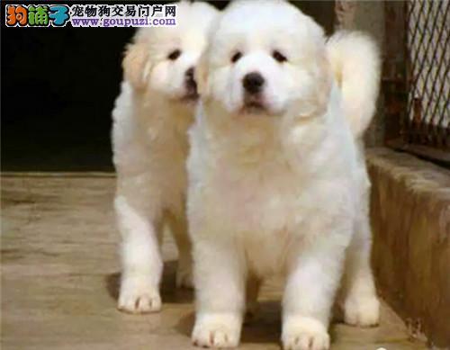 犬舍直销专业繁殖大白熊全国包邮送货上门