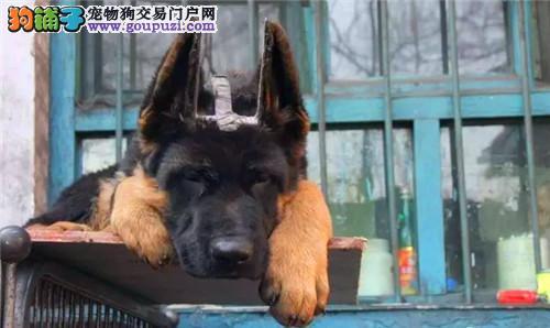 犬舍直销专业繁殖狼狗全国包邮送货上门