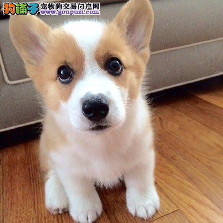 本地犬场 出售纯种柯基犬 包养活签协议可送货上门!