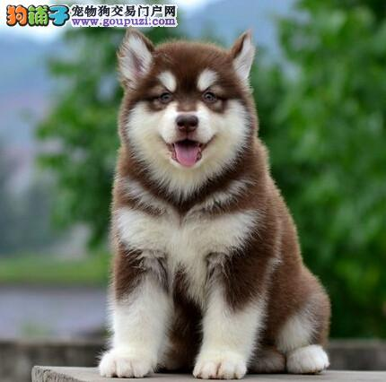 本地犬场 出售纯种阿拉斯加 包养活签协议可送货上门!