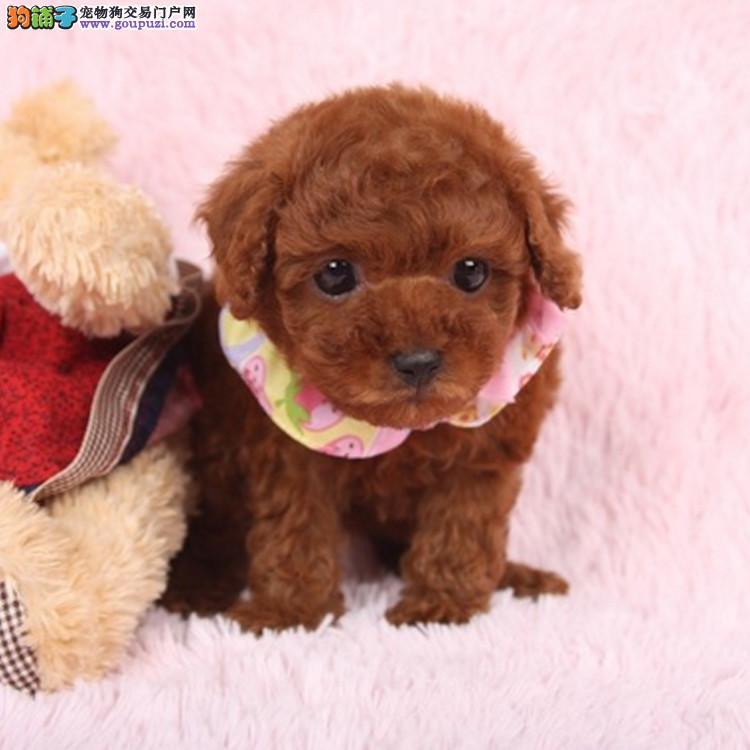 本地犬场 出售纯种泰迪犬 包养活签协议可送货上门!