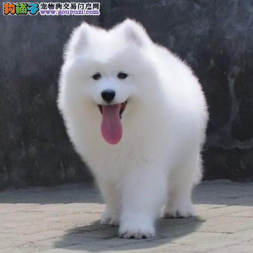 本地犬场 出售纯种萨摩耶 包养活签协议可送货上门!