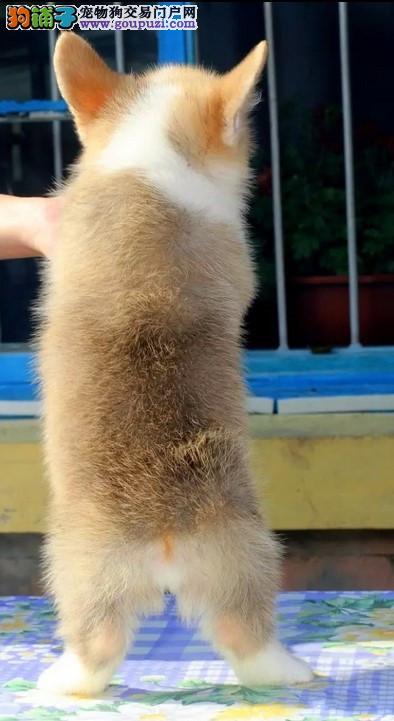 极品纯种北京柯基犬促销中 已做好防疫保证健康