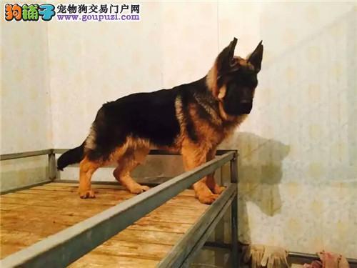 极品纯种北京德国牧羊犬促销中 已做好防疫保证健康