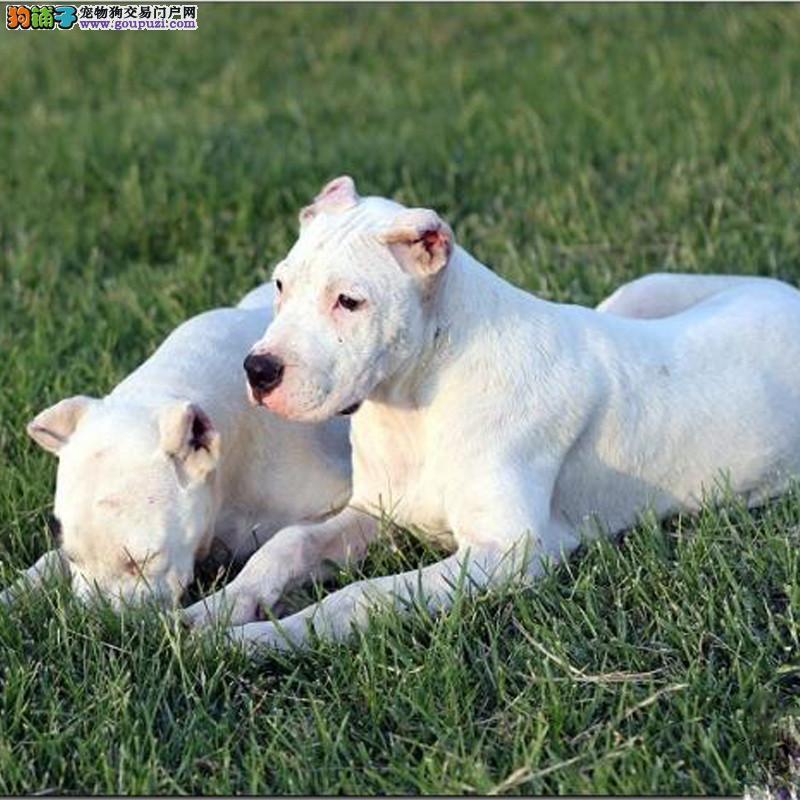 CKU认证犬舍 专业出售极品 杜高犬幼犬繁殖中心