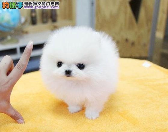 CKU认证犬舍 专业出售极品 博美犬幼犬繁殖中心