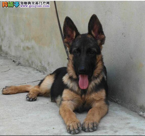 CKU认证犬舍 专业出售极品 狼狗犬幼犬繁殖中心