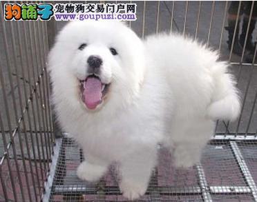 CKU认证犬舍 专业出售极品 大白熊犬幼犬繁殖中心