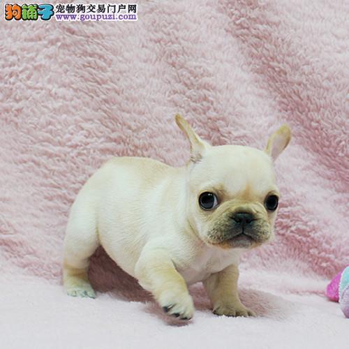 CKU认证犬舍 专业出售极品 法国斗牛犬幼犬繁殖中心
