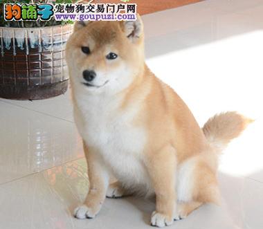 犬舍直销繁殖日系柴犬全国包邮送货上门