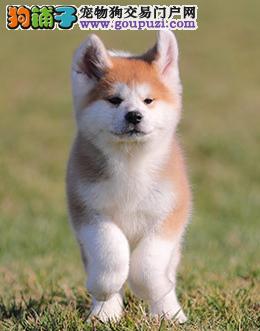 犬舍直销繁殖日系秋田犬全国包邮送货上门