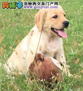 犬舍直销繁殖拉布拉多犬全国包邮送货上门
