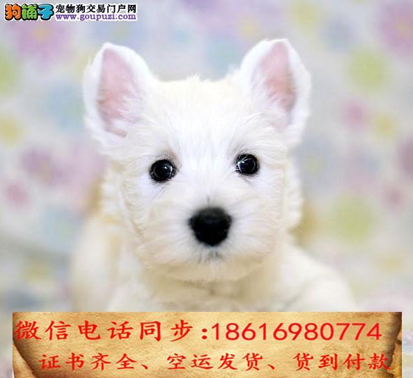 CKU认证犬舍 专业繁殖 西高地幼犬 购买保证