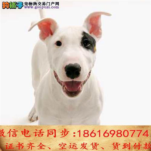 CKU认证犬舍 专业繁殖 牛头梗幼犬 购买保证