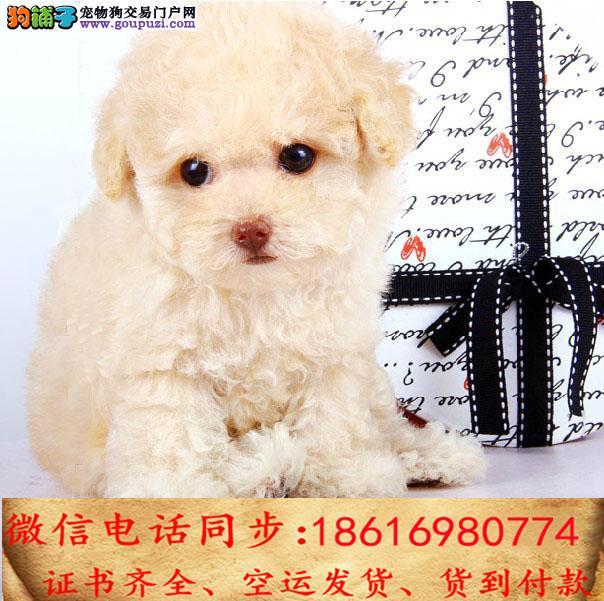 CKU认证犬舍 专业繁殖 泰迪幼犬 购买保证