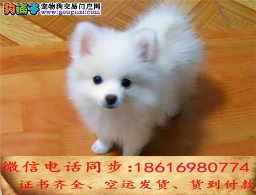 CKU认证犬舍 专业繁殖 银狐幼犬 购买保证