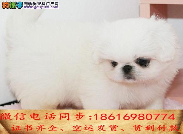 CKU认证犬舍 专业繁殖 京巴幼犬 购买保证
