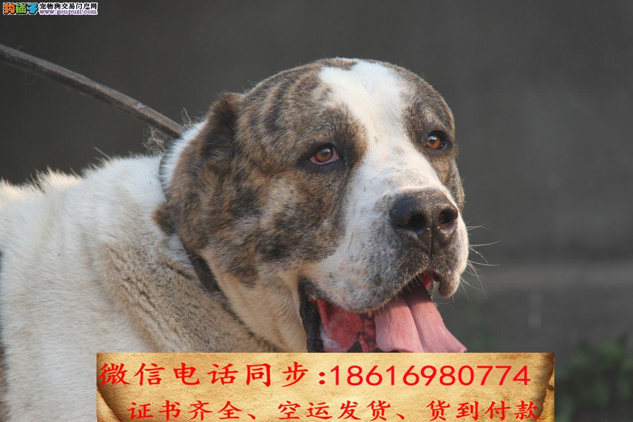 纯种中亚牧羊犬包养活可上门当天发货签订协议