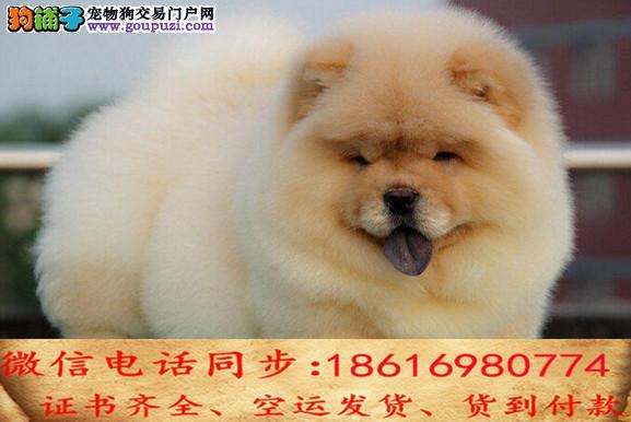 顶级繁殖基地引进名贵种公繁殖更优秀的松狮 幼犬