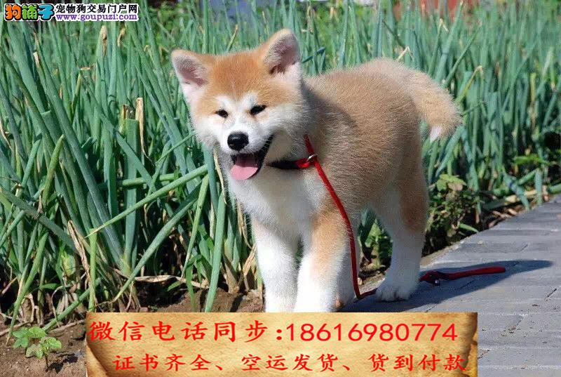 顶级繁殖基地引进名贵种公繁殖更优秀的 秋田幼犬