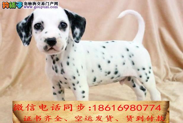 官方保障 犬舍繁殖纯种 斑点狗 纯种健康养活 可签协议