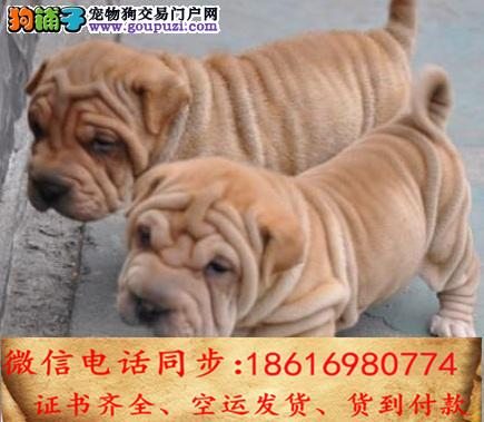 官方保障|犬舍繁殖纯种沙皮纯种健康养活 可签协议