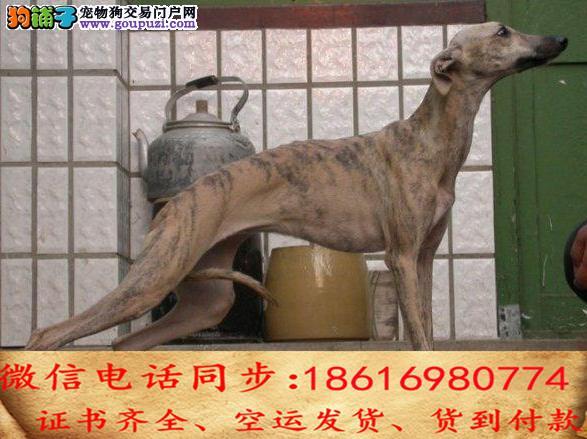 出售纯种 格力犬幼犬全国发货签订协议