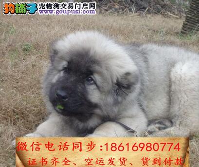 出售纯种高加索 犬幼犬全国发货签订协议