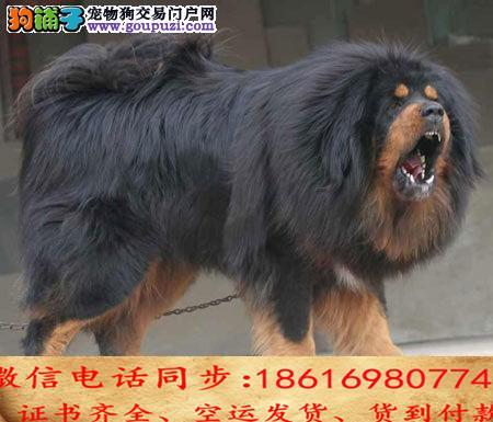 出售纯种藏獒 犬幼犬全国发货签订协议