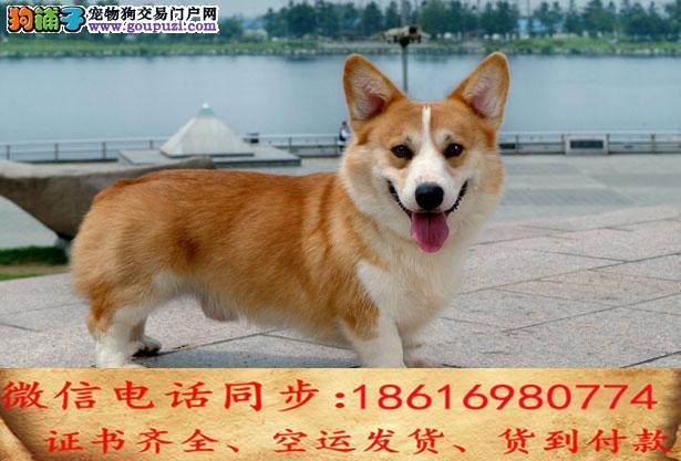 纯种柯基犬出售保证纯种健康终身质