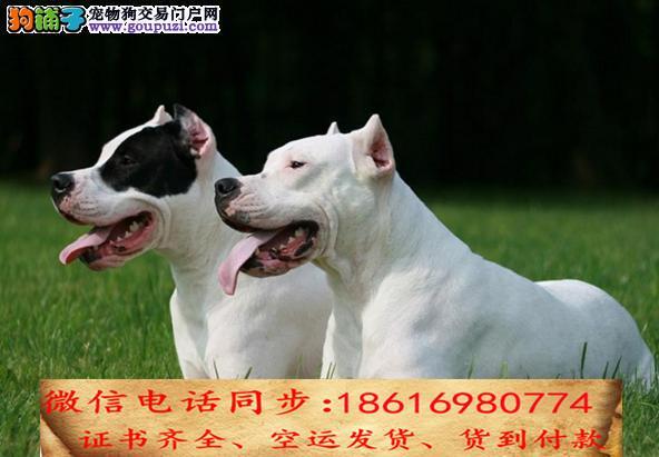 纯种杜高犬出售保证纯种健康终身质