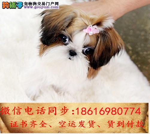 出售纯种 西施犬幼犬全国发货签订协议