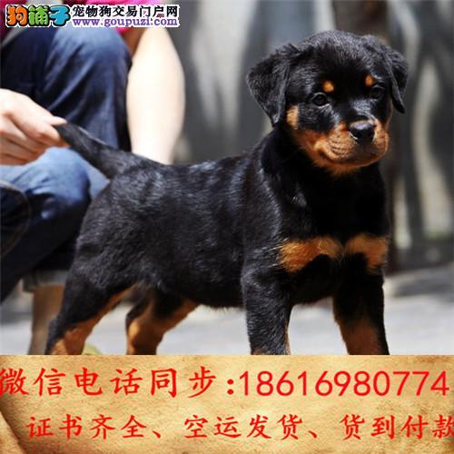 纯种罗威纳犬出售 保证纯种健康 终身质保 饲养指导