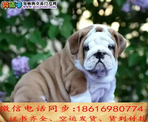 出售纯种英斗犬幼犬全国发货签订协议
