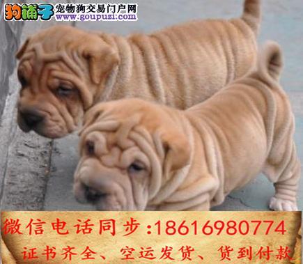 纯种沙皮犬售保证纯种健康 终身质保 饲养指导