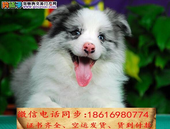 出售纯种边牧犬幼犬全国发货签订协议