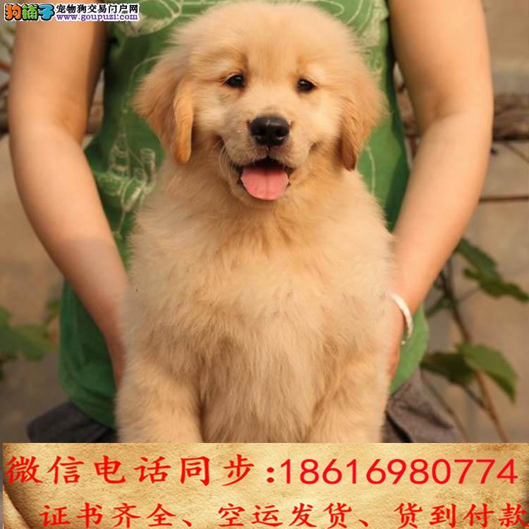 出售纯种金毛 犬幼犬全国发货签订协议