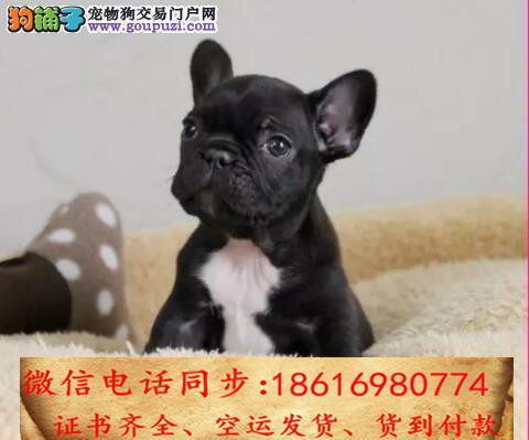 出售纯种法斗犬幼犬全国发货签订协议