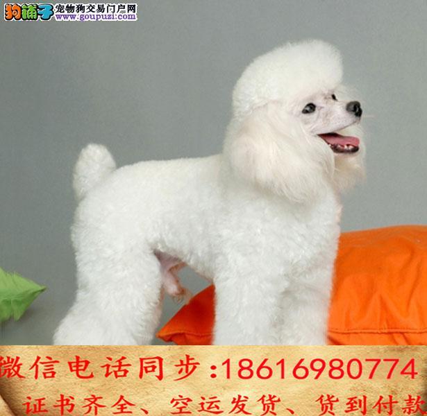 出售纯种贵宾 犬幼犬全国发货签订协议