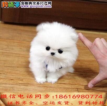 出售纯种茶杯犬幼犬全国发货签订协议