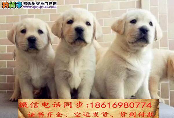 顶级精品l拉布拉多犬 纯种健康购买有保障售后签协议
