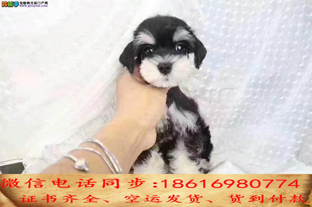 纯种犬繁殖基地出售雪纳瑞 疫苗做齐签订售后协议