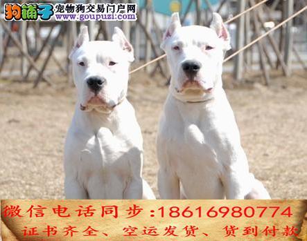 自家繁殖杜高犬 24小时可看狗狗免费送货上门对外配狗