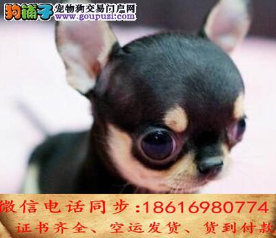 自家繁殖吉娃娃24小时可看狗狗免费送货上门对外配狗