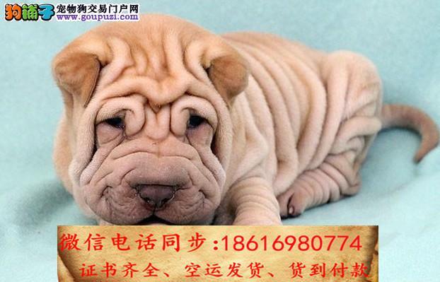 自家繁殖沙皮犬 可看狗狗免费送货上门对外配狗